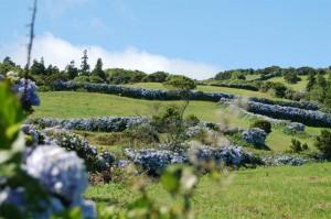 Wild Hydrangeas,Azores