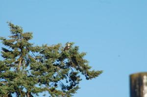 Two bald eagles on same Douglas Fir perch
