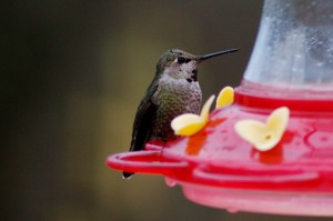 wintering Hummingbird at Lisa's home.
