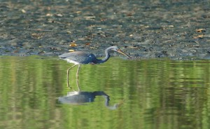 Tri colorod heron