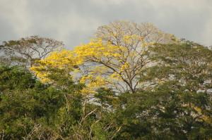 Guayacan related to Lignum Vitae and Ipe on Gatun Lake shore.