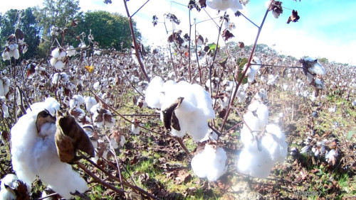 Cotton ready for the picking.