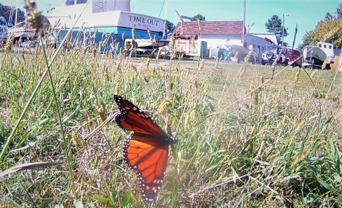 Monarch on their migration to Mexico